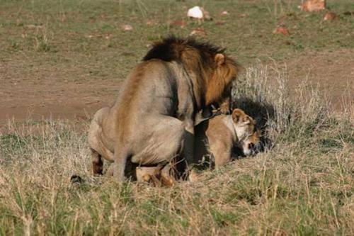 Но если если завидовать кому-то из животных, то конечно же льву. Его сексуальная активность бесподобна... Любопытные наблюдатели национального парка в Восточной Африке подсматривали за процессом совокупления царственного зверя. И подсчитывали: за 55 астрономических часов самец начинал любовные игры 157 раз. Первые сутки — пик его активности — он посвятил одной избраннице, совокупившись с нею 74 раза. С другой партнершей он случился всего 12 раз, но в сумме — 86 раз за 24 часа...